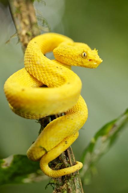 Pit viper snake wallpaper - photo#33