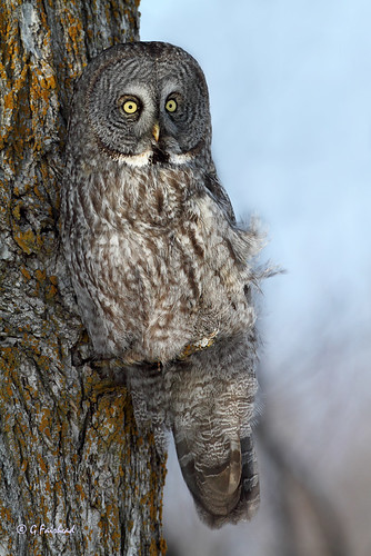 Teeny Tiny Perch / Great Grey Owl