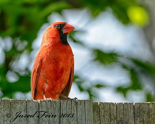 A Red Cardinal on a Fence