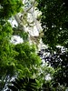 Jenn Sinasac posted a photo:	A giant Cuipo Tree (Cavanillesia platanifolia), home of a Harpy Eagle nest in Darien National Park, Panama
