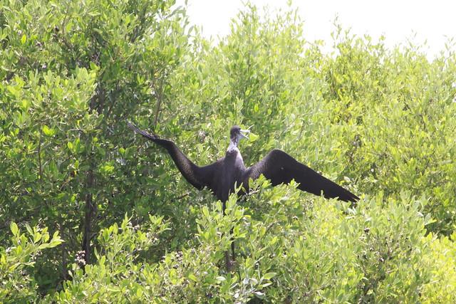 Frigate Bird on the Isla Contoy 2