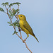 Yellow Warbler (Dendroica petechia) by Hamilton Images