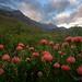 Greyton Protea Sugarbird by Panorama Paul