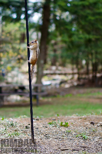 Chipmunk on a poll