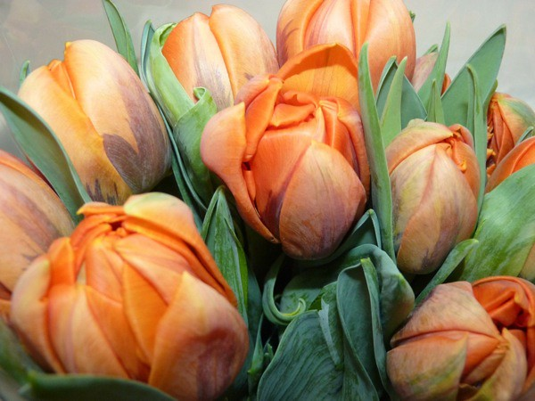 Tulip close up