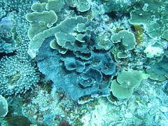 三個調查點皆發現珊瑚感染黑棉病的蹤跡,初步觀察柴口受到感染的珊瑚 群體較其他地點多。