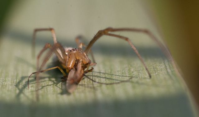 Stretch spider tetragantha extensa 3