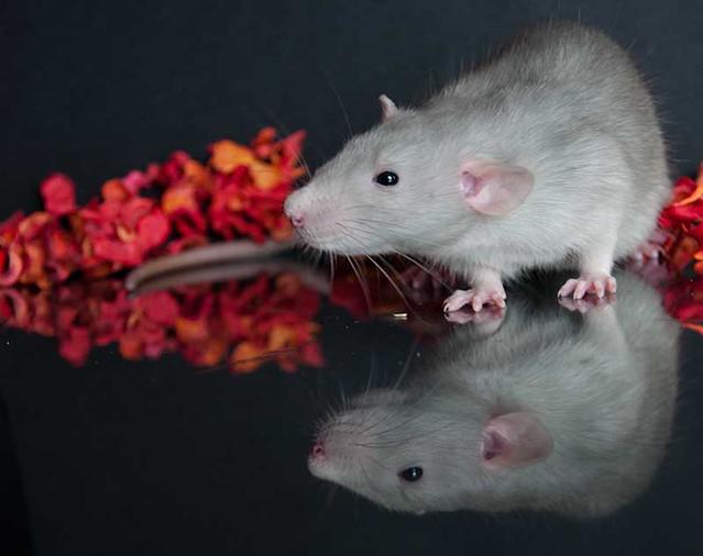 Rat - Chuck