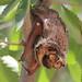 Hoary Bat @ Oasis State Park NM by Deb Whitecotton