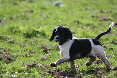 dog breed, animal, dog, pet, mammal, small mã¼nsterlã¤nder, drentse patrijshond, hunting dog, french spaniel,