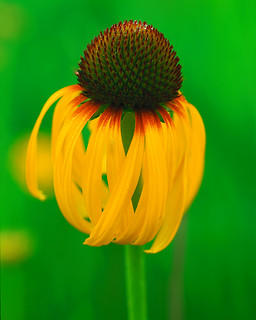 Yellow Coneflower, Cole County MO