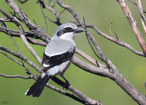Picanço-real (Lanius meridionalis)