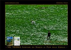PASSEGGIATE A LEVANTE - VAL TREBBIA Narcisi al Pian della Cavalla 3 - ph Enrico Pelos