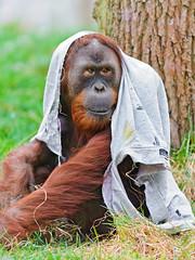 [フリー画像素材] 動物 1, 猿・サル, オランウータン ID:201205271000