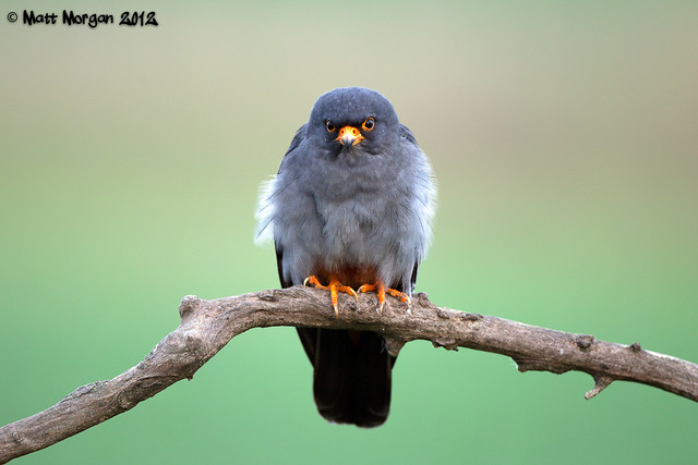 Male Red Footed Falcon