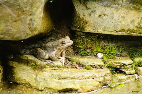 méxico frog rana hidalgo herpetología anuros