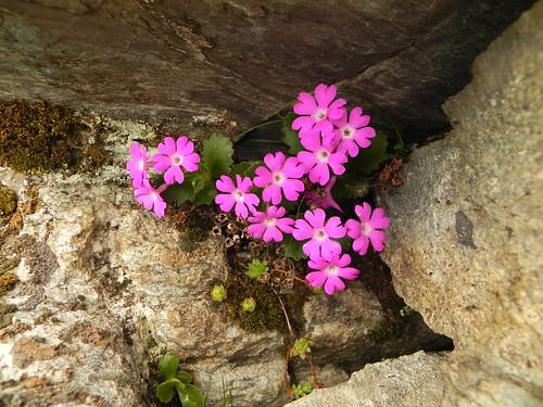 Primula hirsuta=Primevère à gorge blanche (2)