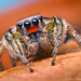 Male Habronattus virgulatus Jumping Spider - Arizona by Thomas Shahan