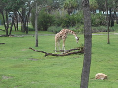 Giraffe at Kidani Village Animal Kingdom Lodge