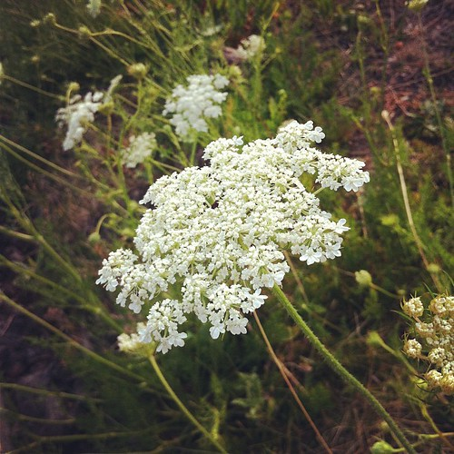Queen Anne's Lace.  Just plain pretty...