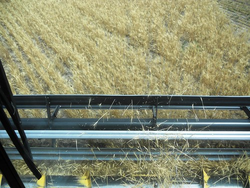 View from the '98 of thinner wheat