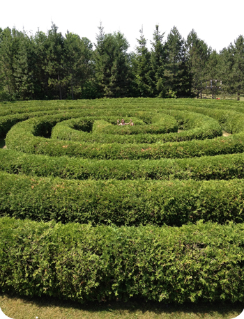Lost in a maze at Saunders Farm