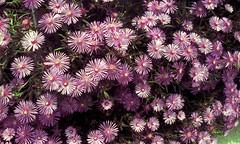 chrysanths(0.0), dorotheanthus bellidiformis(1.0), aster(1.0), annual plant(1.0), shrub(1.0), flower(1.0), purple(1.0), plant(1.0), wildflower(1.0), flora(1.0), ice plant(1.0), petal(1.0),