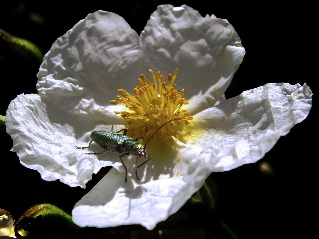 jara con insecto joya