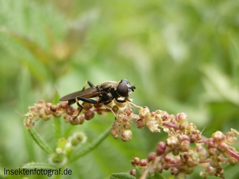 Kleine Mistbiene oder Gemeine Keulenschwebfliege