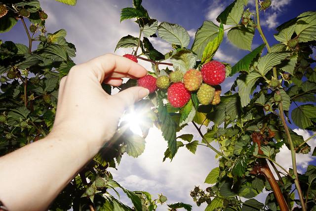 Bærsesongen har så vidt begynt og det er mulig å plukke bringebær Vestre Frogner gård.