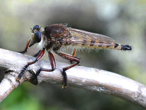 Robber Flies (Asilidae)