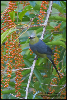 Long-tailed Silky Flycatcher (Ptilogonys caudatus)