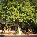 Φιλώτι, καφενείο ο Πλάτανος