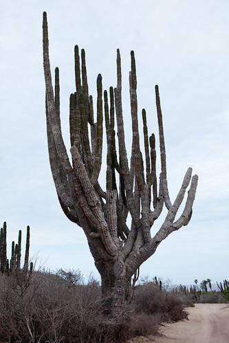 Cardón cactus
