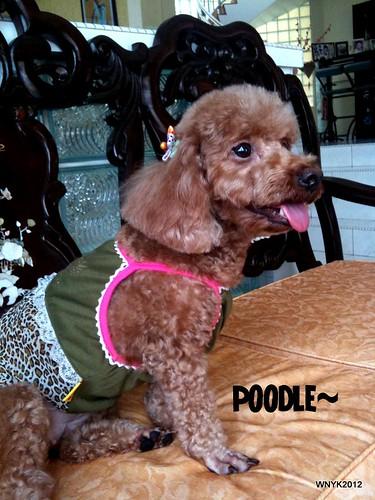 Poodle1