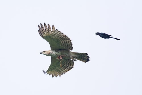 Changeable Hawk-eagle and Black Drongo