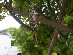 立派なゴミグモ