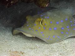 reef(0.0), pomacanthidae(0.0), animal(1.0), stingray(1.0), fish(1.0), marine biology(1.0), skate(1.0), underwater(1.0), cartilaginous fish(1.0),