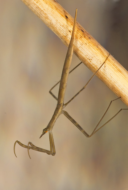 Water stick insect Ranartra linearis 2
