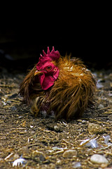 Rooster4