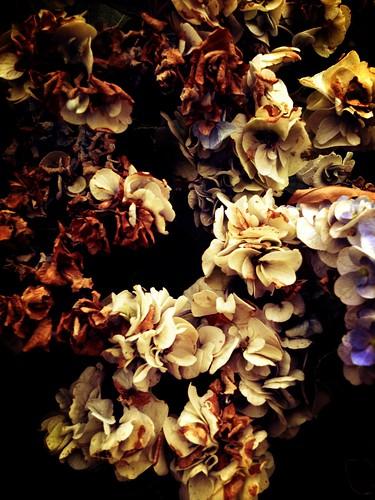 a dead Hydrangea
