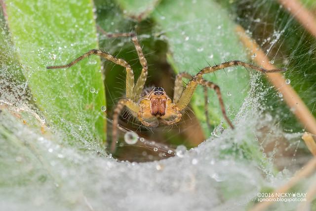 Wolf spider (Hippasa sp.) - DSC_9281b