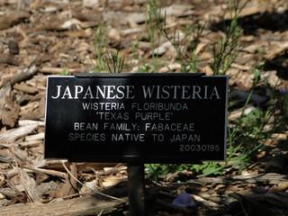 6-77-21apr12_3710_Botanical_garden japanese wisteria