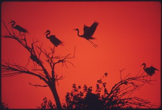American egrets roosting and nesting on the Colorado River Indian Reservation near Parker, May 1972