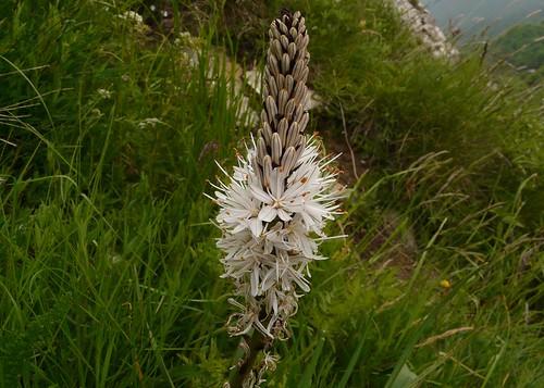 Asphodèle blanc=Asphodelus albus