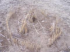 straw, hay,