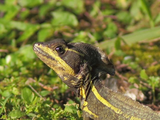 Common Basilisk- Basiliscus vittatus detail 20120611