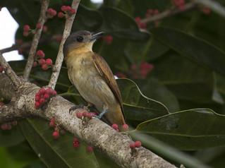 Pachyramphus minor