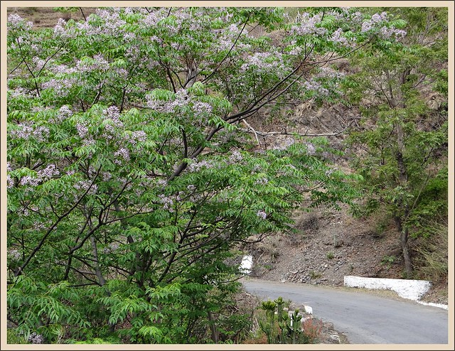 Persian Lilac Tree on roadside