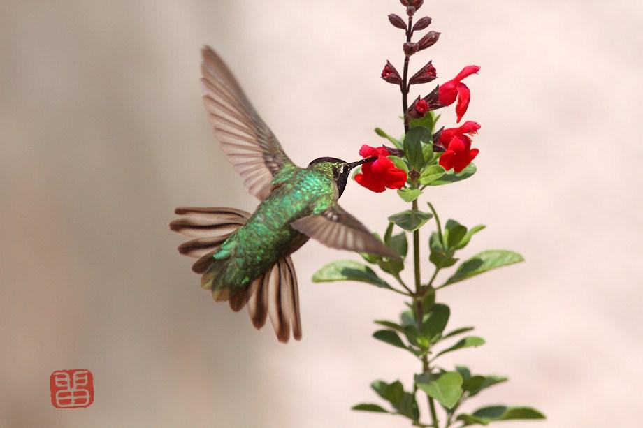 Anna's Hummingbird 051812-5
